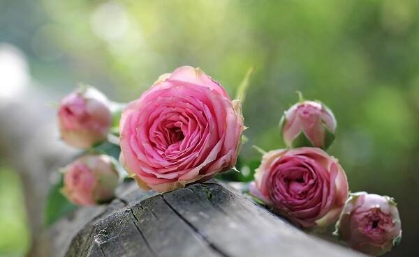 rose-1687884_1920.kicsi